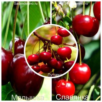 Вишня - комплект из 3-х сортов: Вишня Лутовка > Вишня Малышка > Вишня Славянка