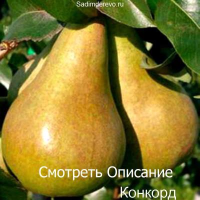 Груша Конкорд
