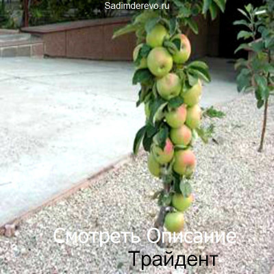 Колоновидная Яблоня Трайдент