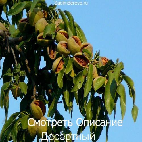Саженцы Миндаля Десертный - фото и описание
