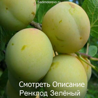 Слива Ренклод Зелёный