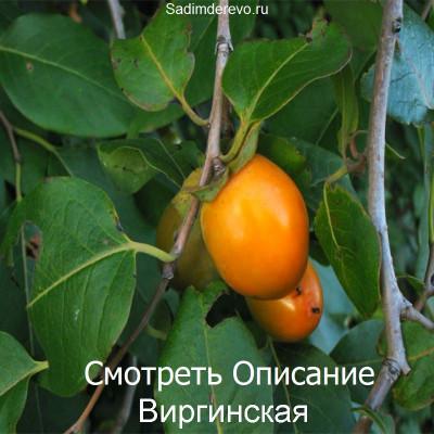 Хурма Виргинская