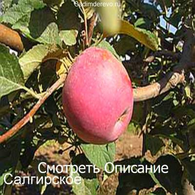 Яблоня Салгирское
